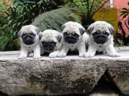 Filhotes de Pug disponível