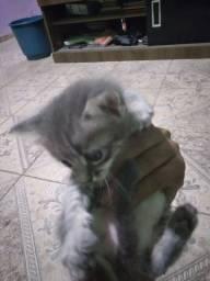 Doação gato listrado