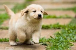 = Golden Retiever, com pedigree, recibo e garantia. =