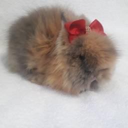 Mini Teddy Dwerg