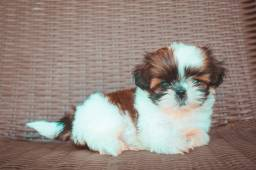 Shih tzu fêmea mini com pedigree