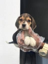 Beagle 13 polegadas , bicolor e tricolor. info whats!