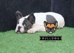 Bulldog Frances Blue Pied Macho