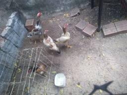 Vendo galinha  50,00  cada uma