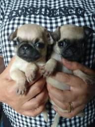 Micro Pugs
