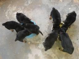 Rottweiler á venda