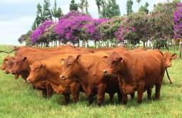 [43]]Senepol PO EM 12 parcelas - R$ 9.500 ( Novilhas & Vacas Prenhas )