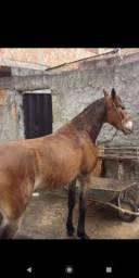 Cavalo macha picada 6 anos