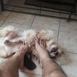 Shitzu precisa de cachorra no cio