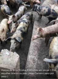 Porcos e leitoas
