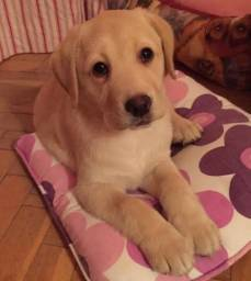 Labrador macho  caramelo   900,00 avista ou 1.100,00  em 6 x sem juros