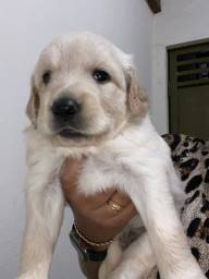 Vende-se Filhotes de Golden Retriever