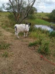 Mini vaca parida e prenha