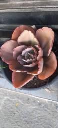 Ó as prantinha - Cactos, Suculentas, Orquídeas e muito mais