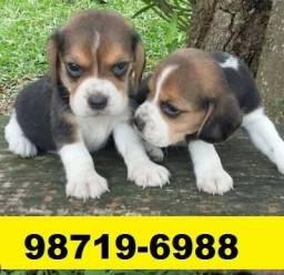 Canil Filhotes Cães BH Lindos Beagle Poodle Lhasa Maltês Shihtzu Yorkshire Basset