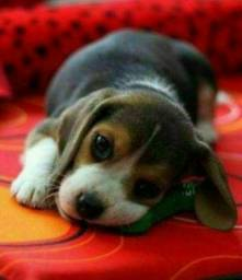 Filhotes de Beagle Mini Pedigree Garantia de saúde