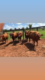 Título do anúncio: [00]Barrolândia-TO - Senepol PO - Vacas, Novilhas e Garrotes ==