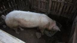 Casal de porcos