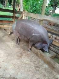 Porco para banha