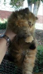 Persa fêmea com 2 mês