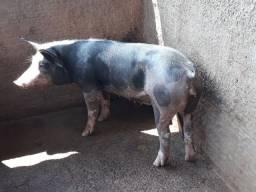 Porcas e Cachaço