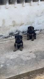 Vendo filhotes de Pastor Alemão capa preta