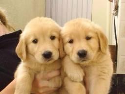 Vendo belos golden retriever pedigree. Aceito cartão