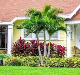 Mudas de palmeira Havaí (mini imperial) 50 cm