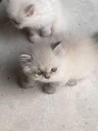 Bebês  de gato persa