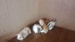 Mini Lop ...Mini coelho