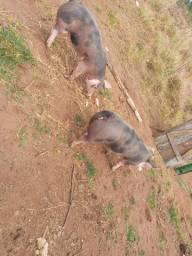 Vendo porco pietran p.o