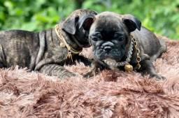 Pequeninos lindos bulldog francês pedigree