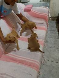 Filhotes de pibull