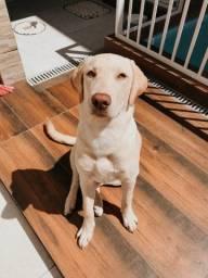 Labrador fêmea bege