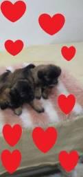 Lindos yorkshire com poodles machinhos