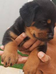 Vendo lindos filhotes de Rottweiler ótima linhagem