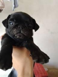 Filhote lindo Pug Macho