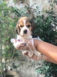 Beagle,filhotes a pronta entrega! whatsApp 113565-1269