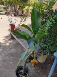 Bananeira de salão