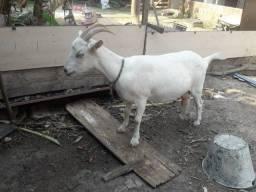 Cabra mestiça de Saanei