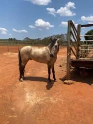 Cobertura MANGALARGA do Cavalo Gerente Da República