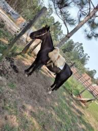 Cavalo zaino