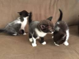 Doa-se gatinhos  araucária
