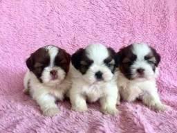 Maravilhas de Shihtzu filhotes super carinhosos