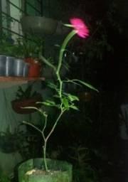 Mini rosas ( rosa e branca )