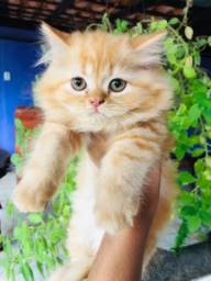 Lindos Filhotes de Gato Persa com Pedigree e Vacina Importada