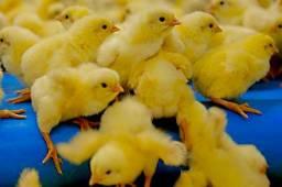Pintinhos de postura para produção de ovos