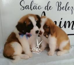 Cães da Raça São Bernardo