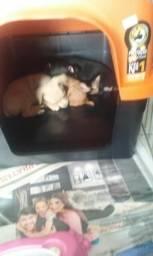 Vendo filhotes pinscher