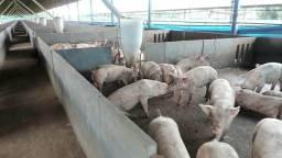 Vendo ou Arrendo Granja de suínos